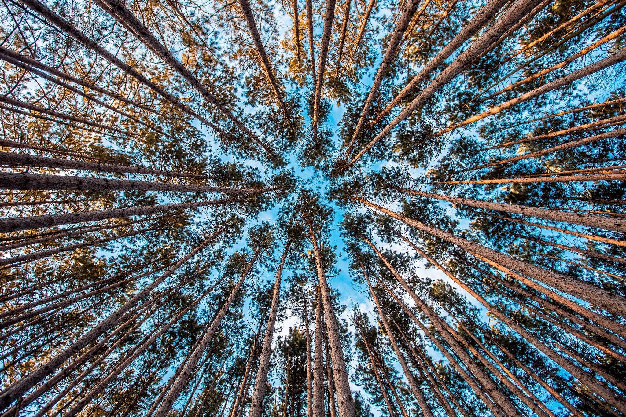 Plantaciones de árboles para fabricar papel